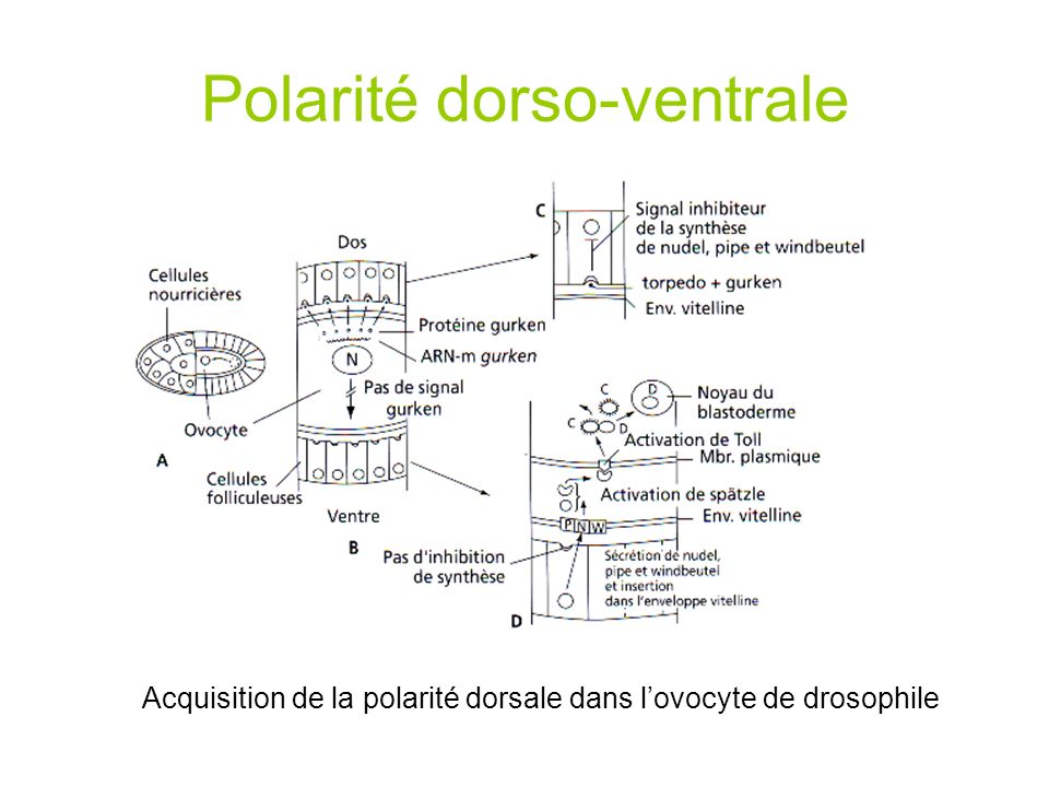 Polarité dorso-ventrale Acquisition de la polarité dorsale dans lovocyte de drosophile