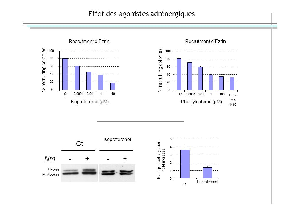 Effet des agonistes adrénergiques Nm - + - + P-Ezrin P-Moesin Ct Isoproterenol 0 1 2 3 4 5 Ezrin phosphorylation fold increase Ct Isoproterenol 0 20 40 60 80 100 Ct0,00010,01110 Recrutment dEzrin % recruiting colonies Isoproterenol (μM) Ct 0,00010,011100 Iso + Phe 10:10 0 20 40 60 80 100 % recruiting colonies Recrutment dEzrin Phenylephrine (μM)