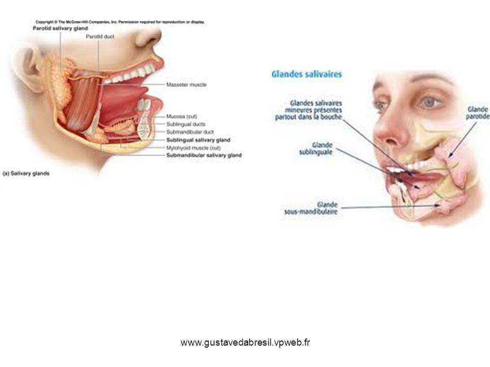 Les glandes salivaires, la thyroïde et les parathyroïdes - ppt video ...