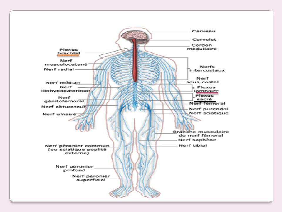 Système nerveux périphérique: « les nerfs spinaux » - ppt video ...
