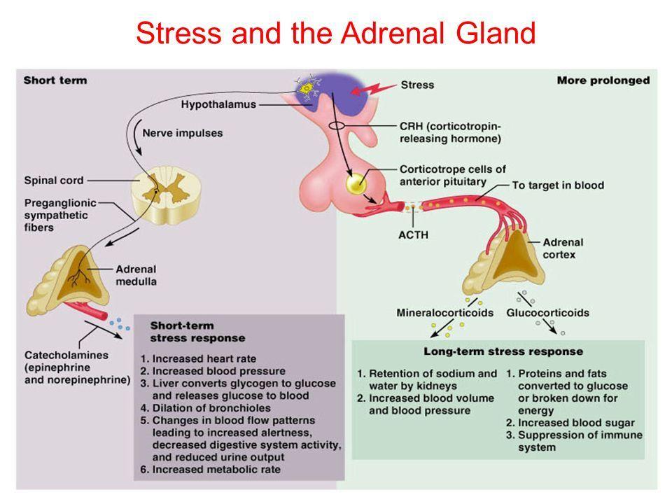 Endocrinology Adrenal Gland Druaadh Abdelkarim Ppt Tlcharger